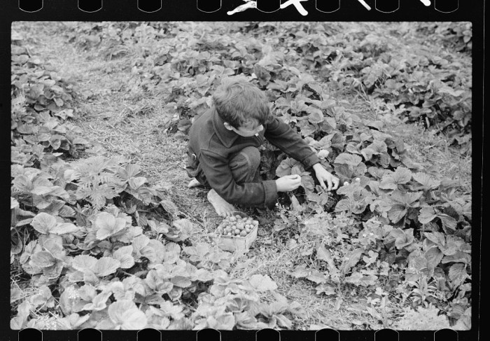 10) Boy picking strawberries, Berrien County, Michigan