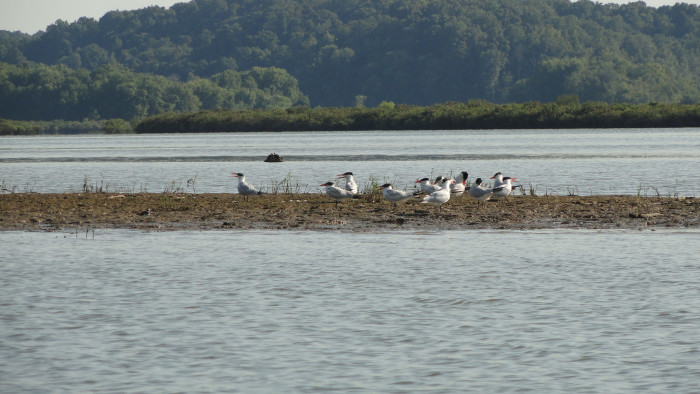 9. Caspian Terns and Lake Barkley Lodge