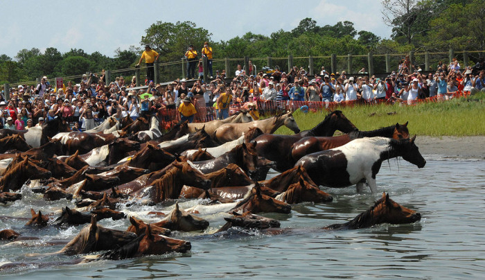 3. See the ponies swim at Chincoteague.