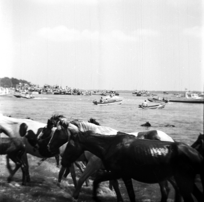 9. THEN: The Chincoteague Ponies finish their famous swim, 1940s.