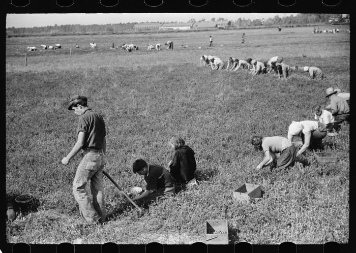 3. Cranberry pickers hard at work in Burlington County.