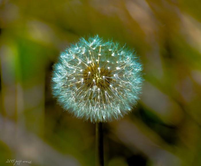 13. Dandelion