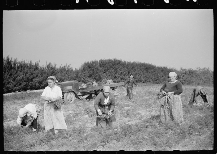 16. Another side of Camden, farm workers picking carrots, 1938.