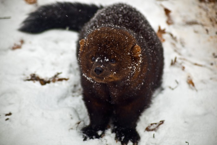 11. This adorabe Fisher is native to areas of Maine and is part of the weasel family.