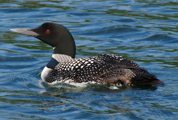 10. And here is one close up...the Great Northern Loon.