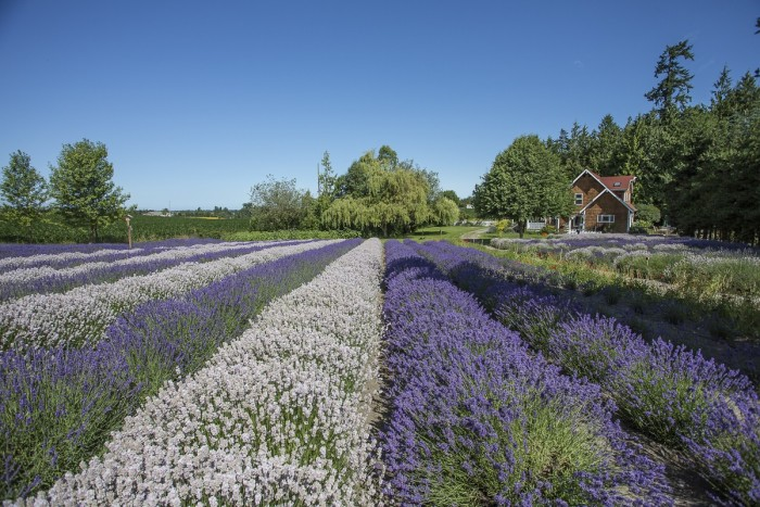 5. Sequim Lavender Farms