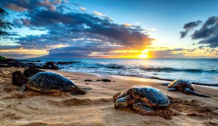 11) I can't decide which part of this photograph is more gorgeous – the three honu relaxing on the beach, or the stellar sunset.