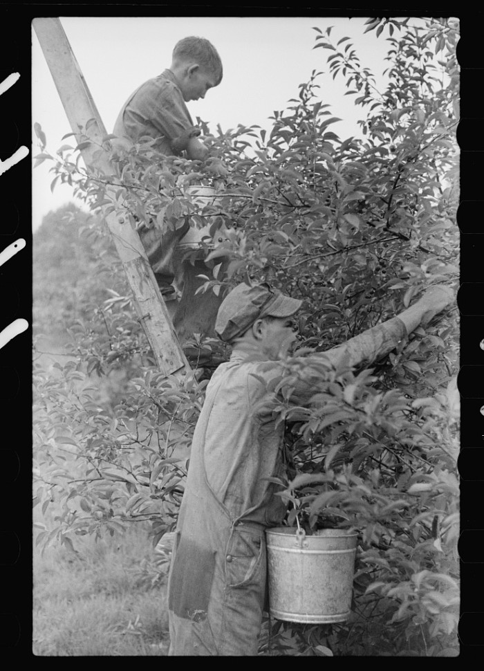5) Migrant father and son picking cherries, Berrien County, Mich