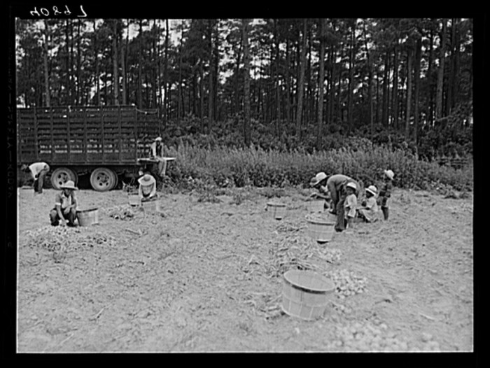 18. Migrant workers gather onions in a field near Onley in Accomack County.