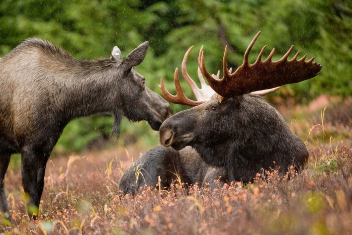 2. And here are a bull and cow moose together.