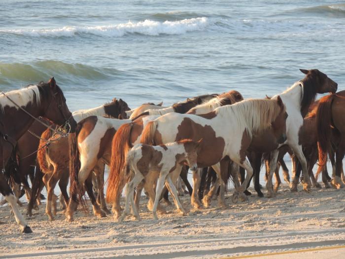 Ponies Chincoteague