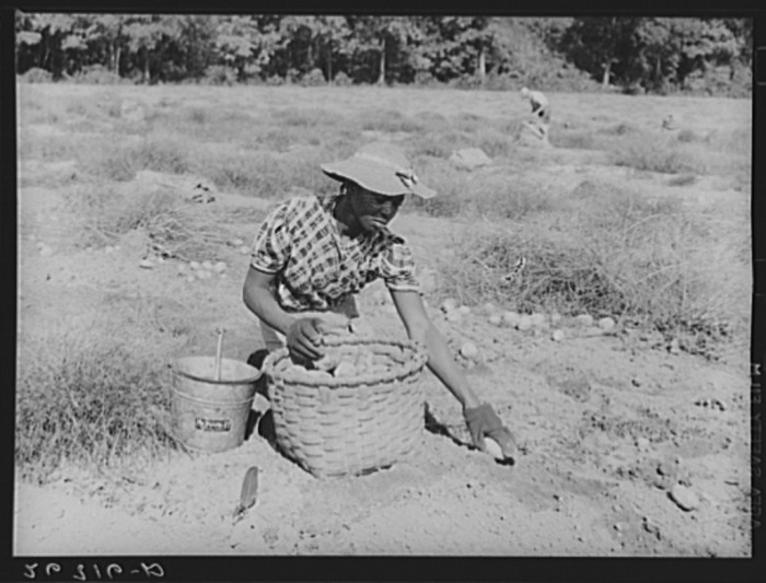 2. And a potato picker harvesting by hand, also in Monmouth County.