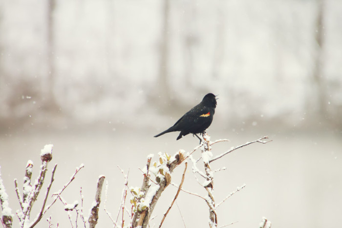 13. This red-winged blackbird creates a stark contrast to his snowy backdrop in Hollymead just north of Charlottesville.
