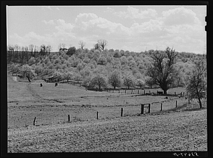 23. Apple orchards in bloom in Rockingham County, 1940.