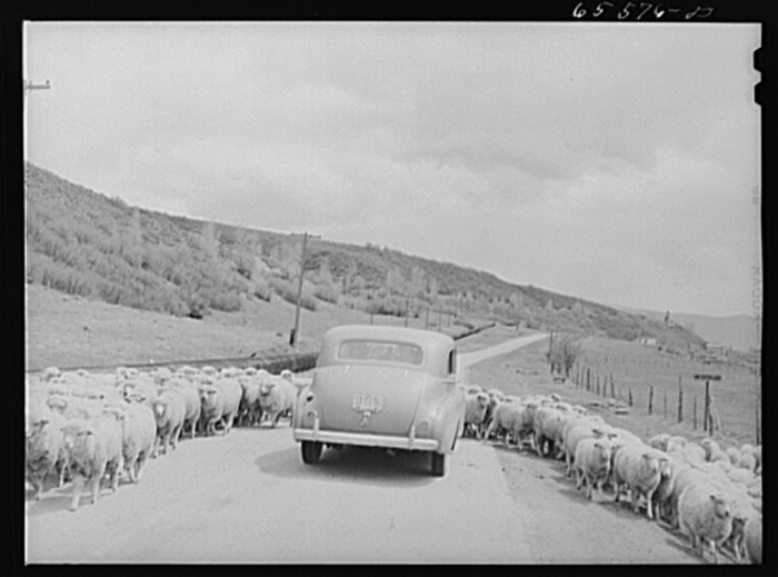 19. Driving Through the Herd of Sheep, Duchesne County
