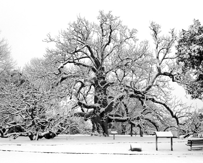"""12. The """"Cucumber Tree"""" in Colonial Heights is made even more beautiful in this snowy black and white image."""