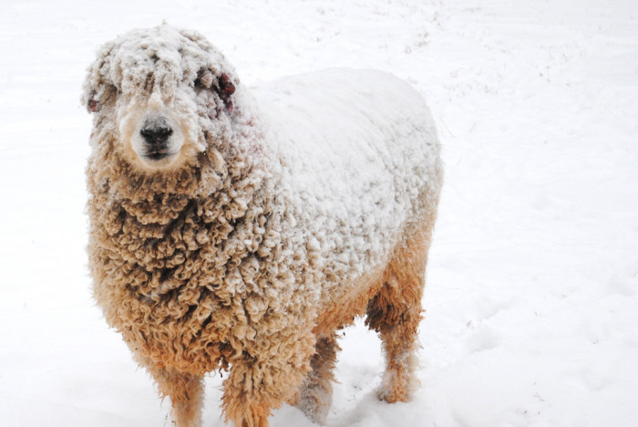 6. A snow-covered sheep gazes back at the camera at Juniper Moon Farm in Central Virginia.
