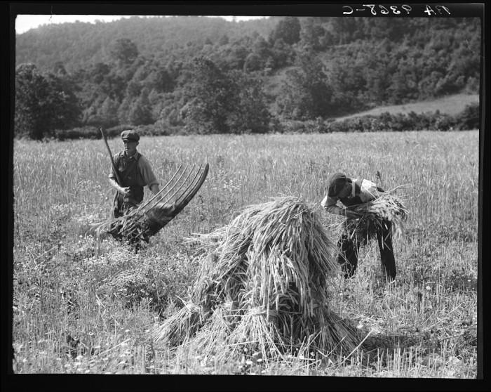 4. Young farm boys cradling wheat on a farm near Sperryville in Rappahannock County, 1936.