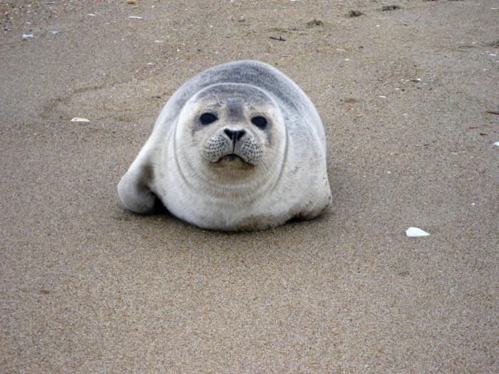 Virginia Beach seal pup