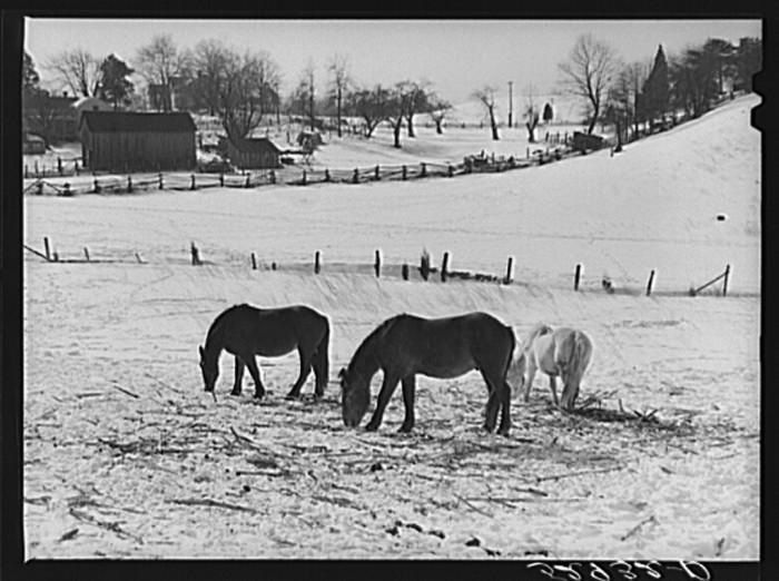 21. Horses graze on a Fauquier County farm near Warrenton, 1940.