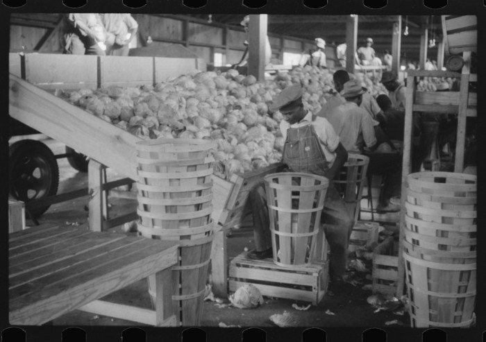 15. Migrant workers grade cabbages at the Webster Canning Company in Cheriton, 1940.
