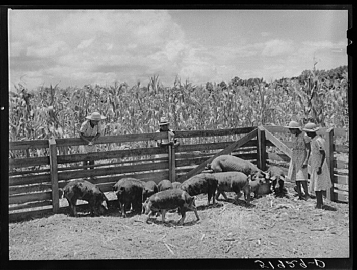 4. The children of Frederick Oliver feed the family's hogs in Summerton.