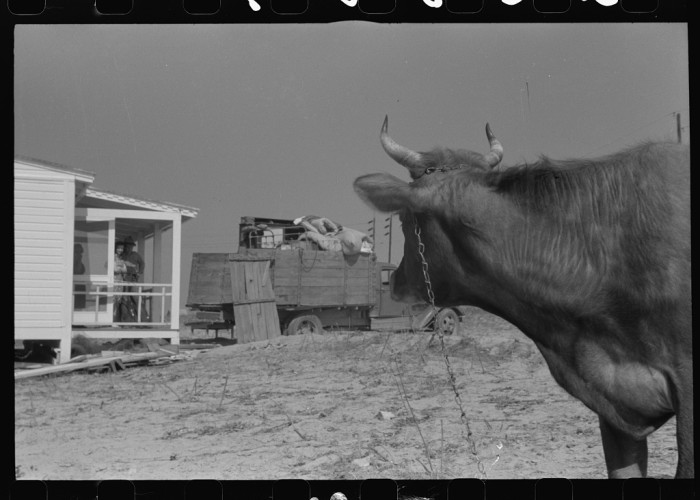 13. A cow watching her owners move into their new pre-fab house in Pacolet, SC.