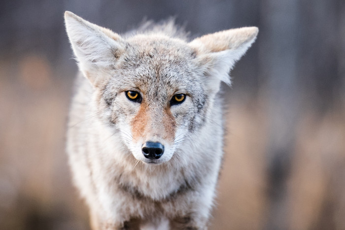 5. A star was born when a coyote managed to get into the Myrtle Beach airport and made the national news. You can watch a YouTube video of the little fella here.