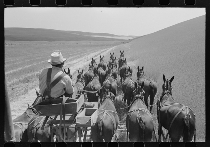 8. Here's a unique perspective of a farmer pulling through his wheat fields in Walla Walla, with mules leading the way.