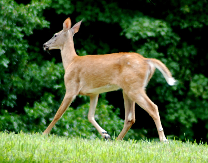 8. A Cabell County man allegedly kept two deer in his house as pets.