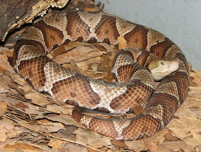 3. Oklahoma claims 7 species of venomous snakes, so be aware if you encounter a Copperhead, Cottonmouth (Water Mocasin), Coral, Pygmy Rattlesnake, Timbler Rattler, Prairie Rattler, or Diamondback Rattler.