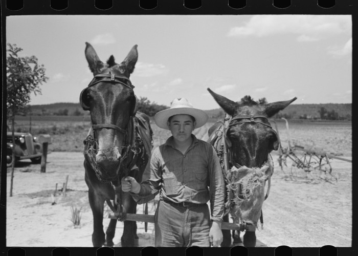 "6. ""Mules with guards around their muzzles to keep them from eating while working, near Vian, Oklahoma."""