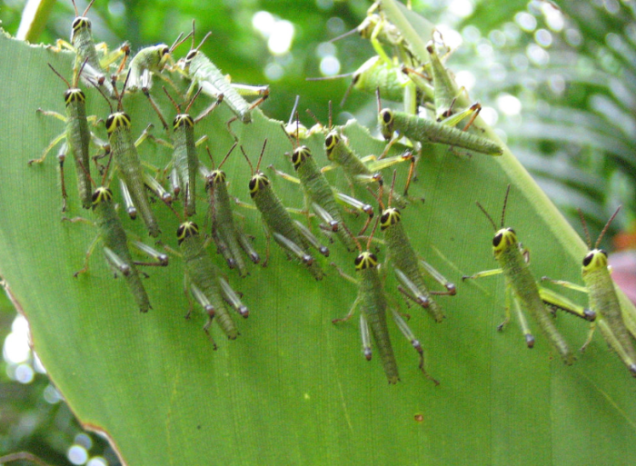 2. A grasshopper infestation could destroy the land.