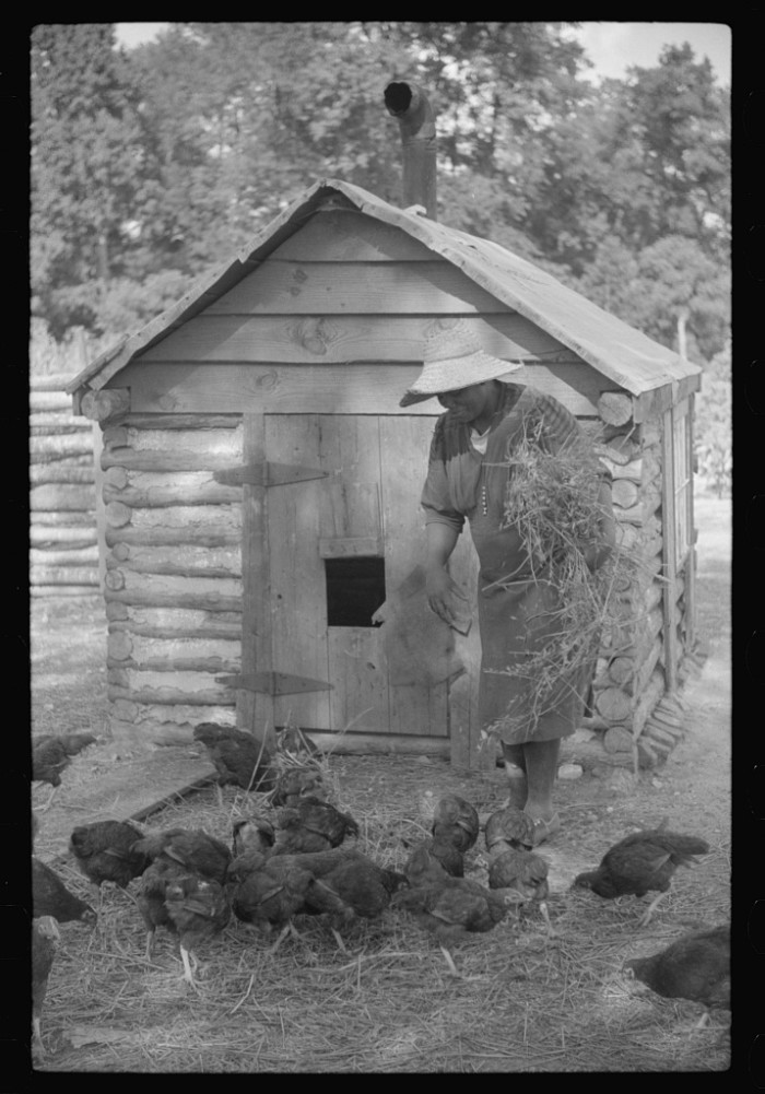 11. Pauline Clyburn tends to her chickens in Manning, SC.