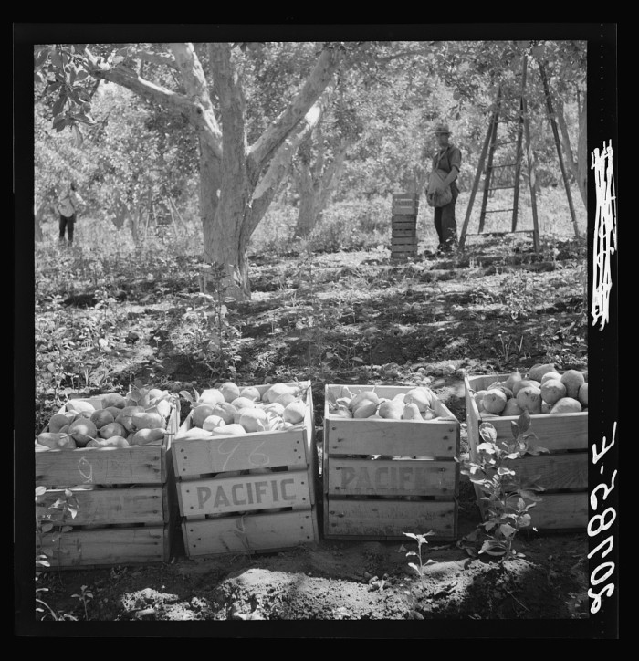 10. Harvesting pears at the Pleasant Hill Orchards in August 1939.