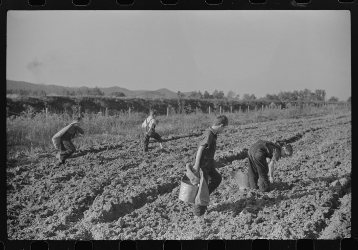 4. These children of homesteaders in Tygart Valley getting potatoes out of the garden in 1938.