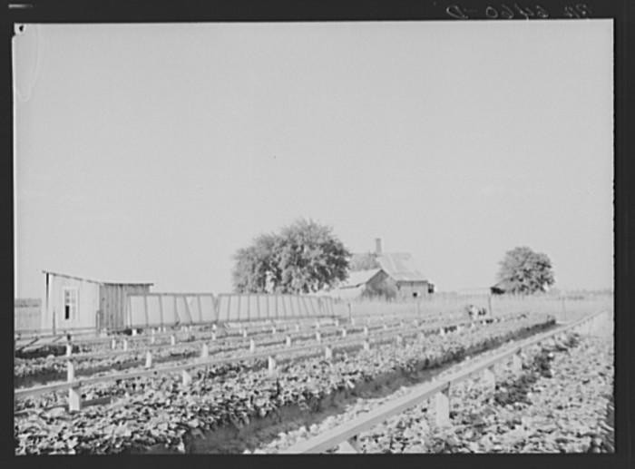 6. Sweet Potato Farm