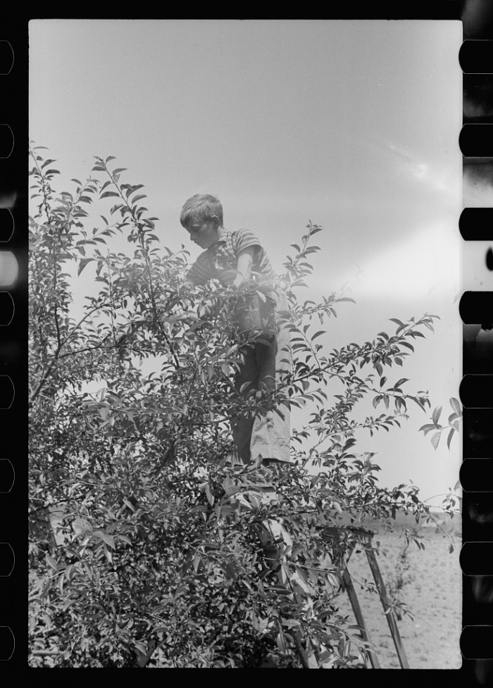 19. This boy is busy picking cherries in Door County in 1941.