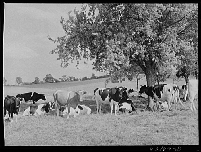 21. This dairy herd is hanging out in Fond du Lac in 1941.