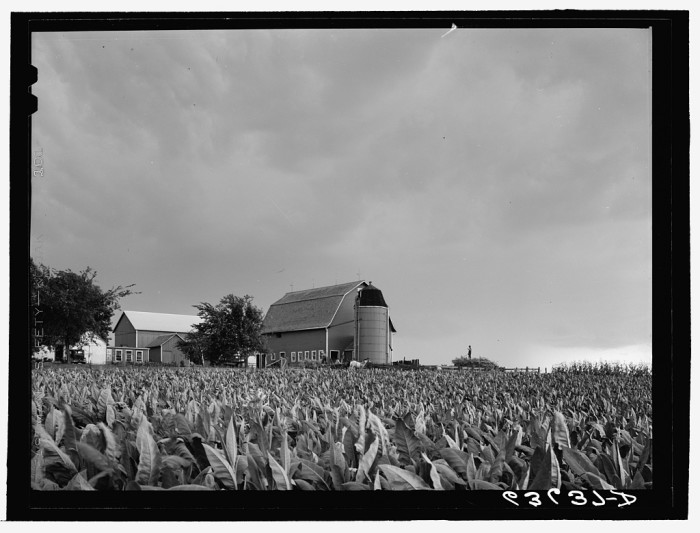 11. Yes, Wisconsin had tobacco farms. Here is one in Columbia in 1941.