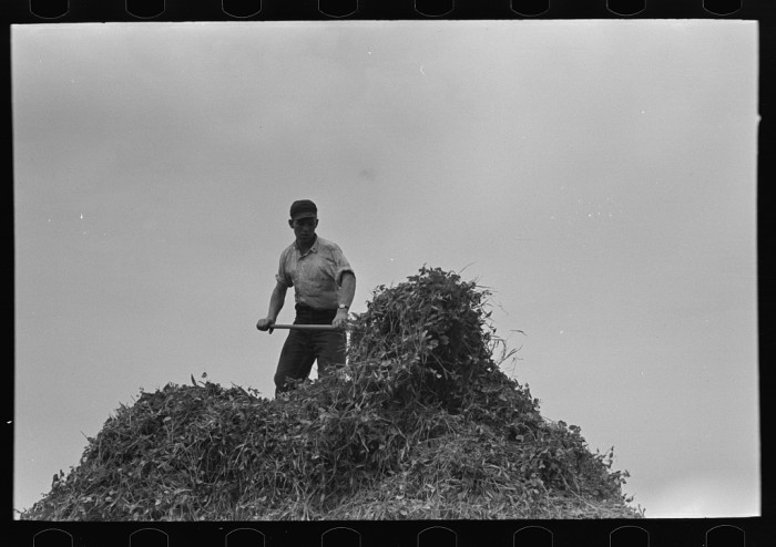 12. In 1937, a man pitches pea vines just outside of Sun Prairie.