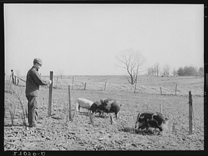 1. A man tends his pigs in Gallatin County in 1939.
