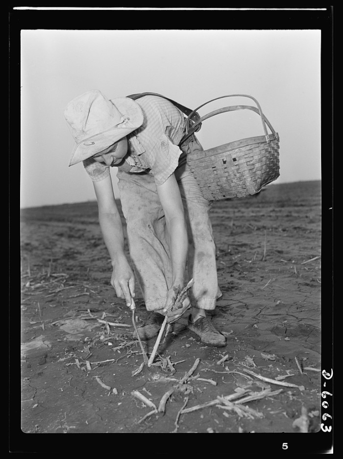 4. Women pick summer asparagus crop during the war in 1942.