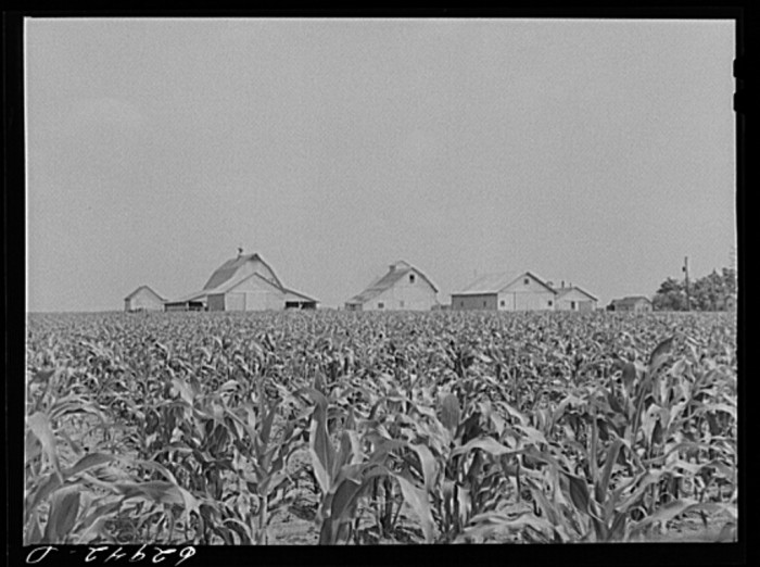 11. This shot of a corn farm near Danville doesn't look too different than they do today.