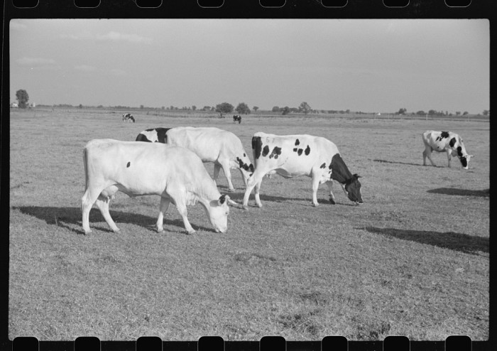 9. But the cows did not look too different in 1941.