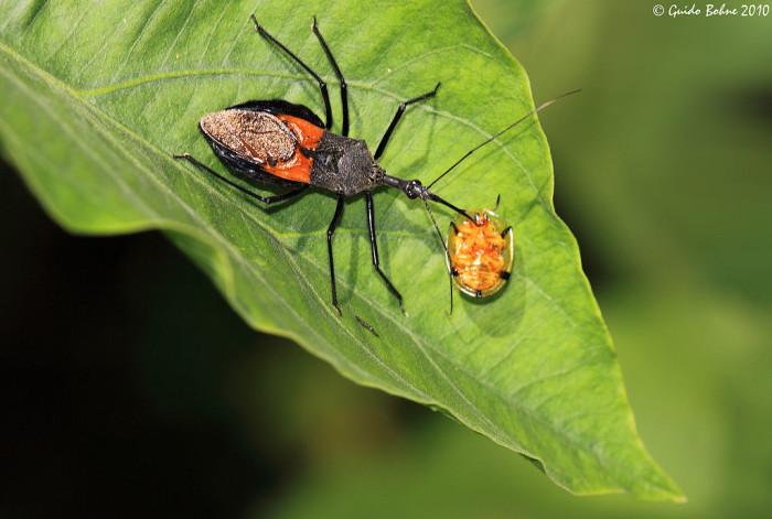 4. Assassin Bug