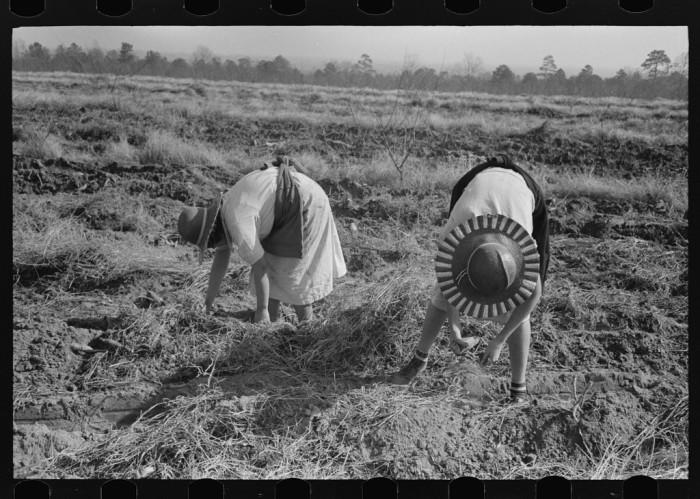 11. A sharecropper's children spend the day picking sweet potatoes on a farm near Laurel.