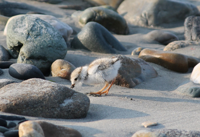 2. A baby piping plover investigating the rocky shore.