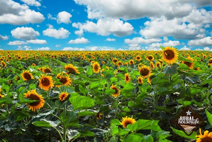 6. This beautiful scene makes it easy to imagine you're on another planet - completely covered by sunflowers.