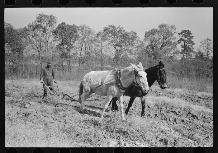 15. A farmer plows sweet potatoes on a farm near Laurel.
